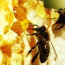 Карпатские пчелы в пакетном пчеловодстве
