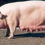 Кондиции сельскохозяйственных животных