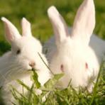 Акселеративное кролиководство