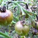 Борьба с фитофторой на томатах